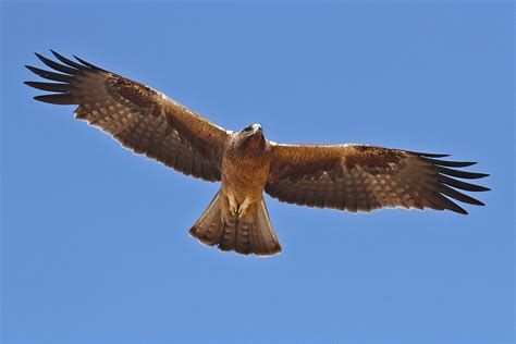 booted eagle bird wildlife photography by richard and