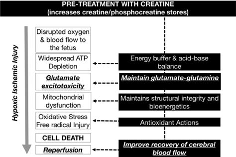 creatine target summary of how creatine pre treatment may be able to