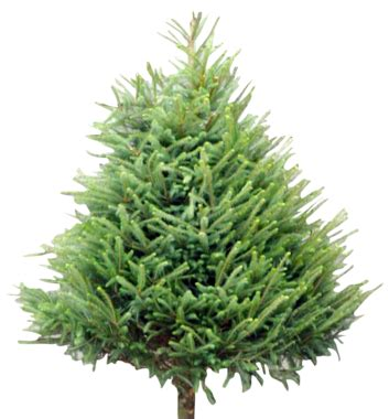wholesale christmas trees supplier welsh british