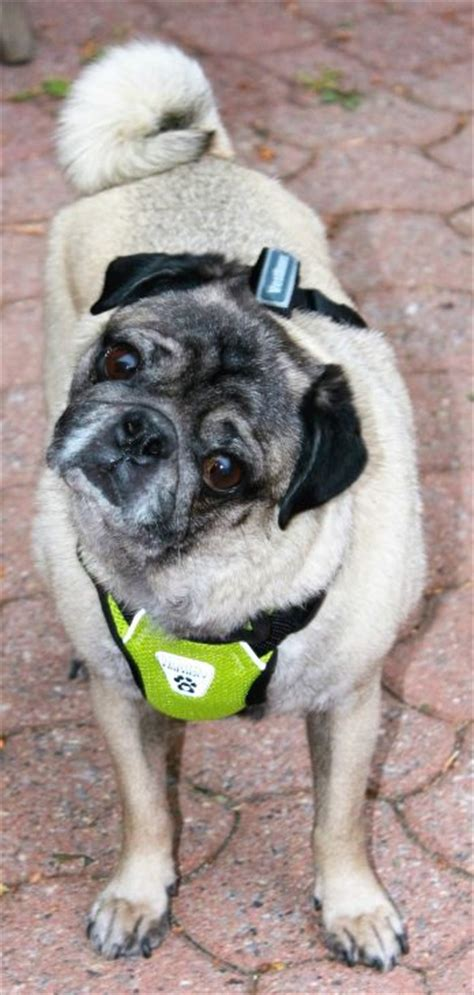 pug rescue of new available pugs pugs my wing pug rescue