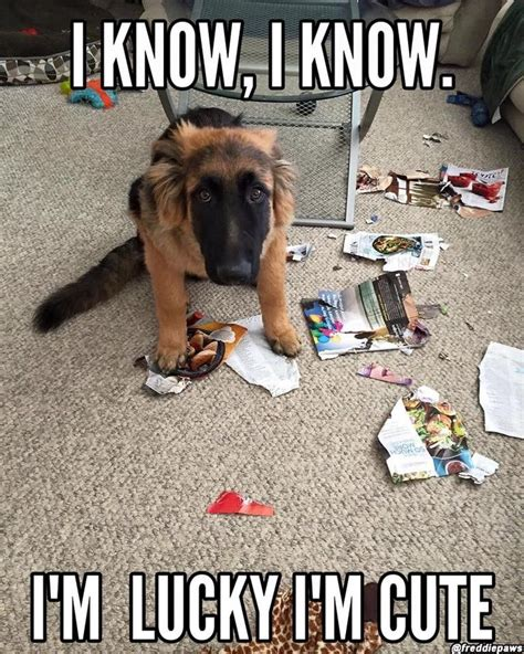 Funny German Shepherd Memes - 273 best images about funny dog memes on pinterest lol