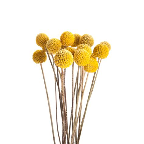 Any Design Of Flowers by Yellow Billy Balls Craspedia Flower Muse