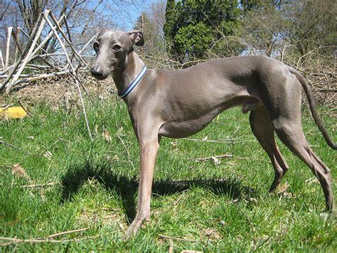Do Greyhound Dogs Shed by Italian Greyhound Photo Gallery Pictures Of Italian Greyhounds Picture Gallery
