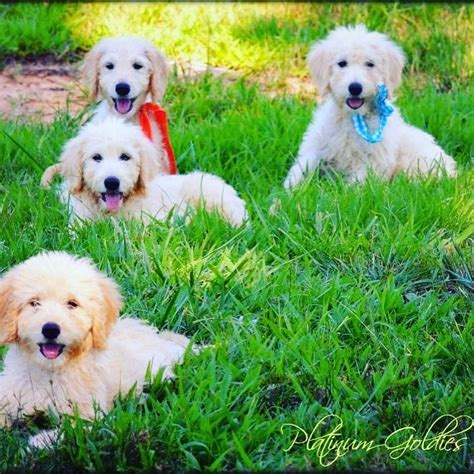 teddy goldendoodle puppies teddy goldendoodles goldendoodle puppies for sale platinum goldendoodles