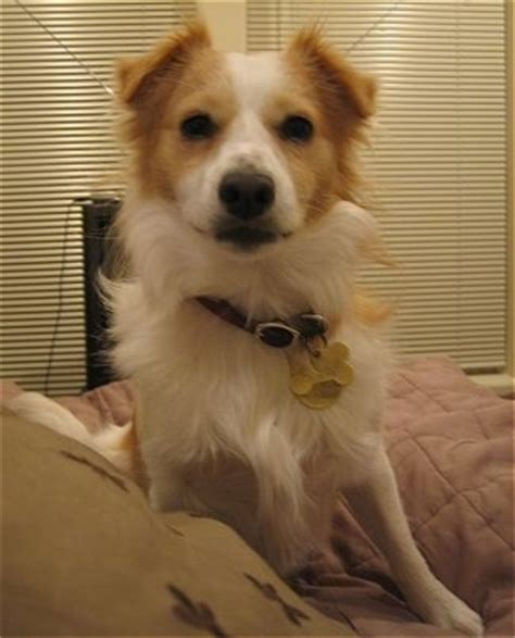 pomeranian fox terrier mix pom terrier breed information and pictures