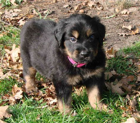hovawart puppies hovawart puppy photo and wallpaper beautiful hovawart puppy pictures