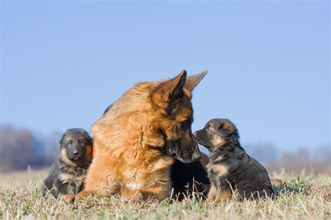 german shepherd puppies tucson german shepherd puppies available in tucson az