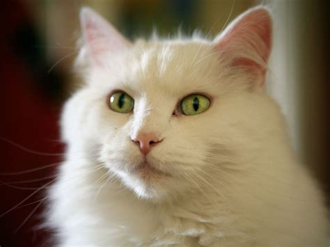 white cat images for beautiful white cat pictures photos