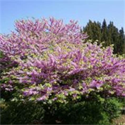 arbusto con fiori violacei fiori magnolia fiori delle piante