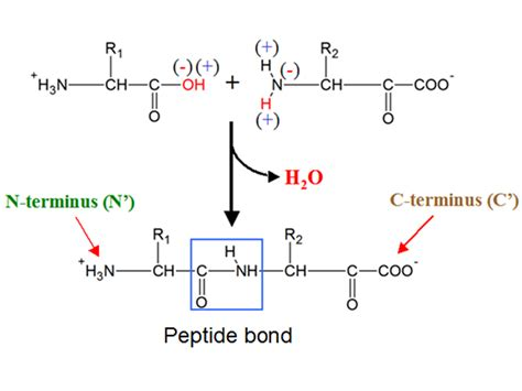 diagram of peptide bond simple diagram of a polypeptide wiring diagram