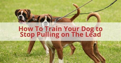 how to your to stop pulling how to your to stop pulling on the lead