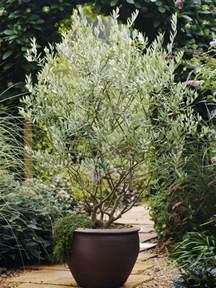 olive tree olive tree care grow an olive tree indoors hgtv