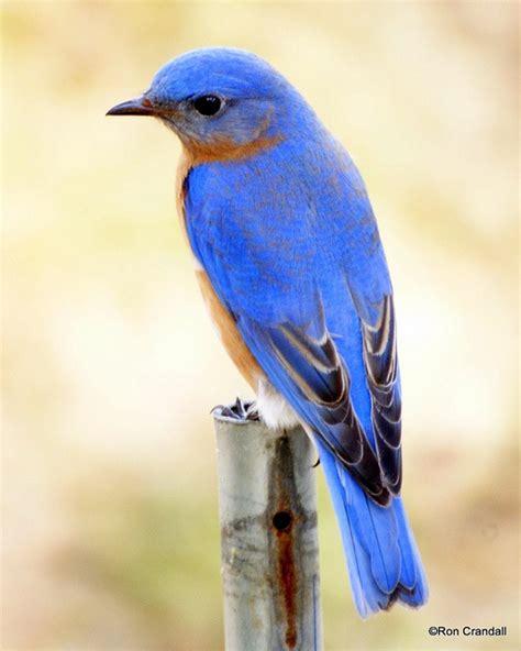 25 best ideas about bluebirds on pinterest