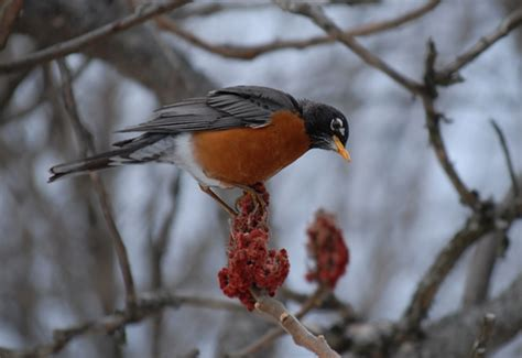 gallery from slideshow what do robins eat in the wintertime