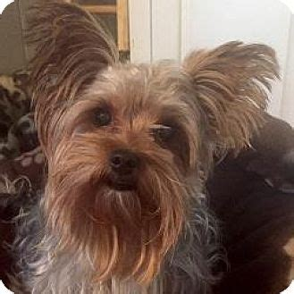 yorkie rescue in illinois normal il yorkie terrier meet rockie a for adoption