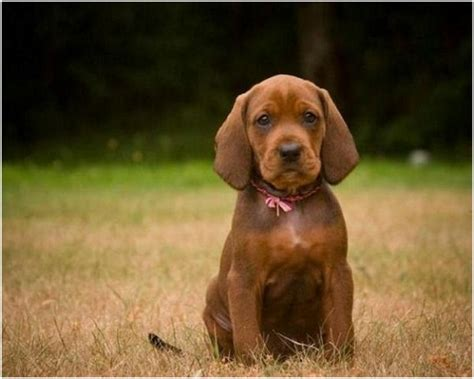 redbone coonhound puppies redbone coonhound puppies breeders pictures facts animals breeds