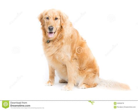 looking for golden retriever golden retriever sitting looking at stock photo image 56359278