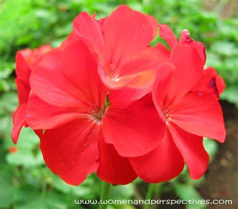 stardom red geranium flowers