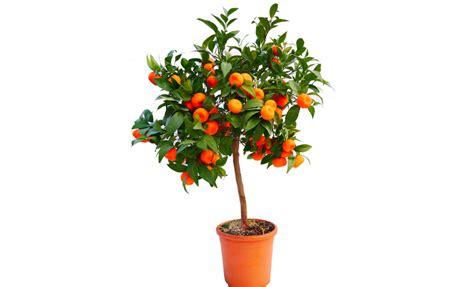 pianta di mandarino in vaso pianta di mandarino precoce satsuma miyagawa in vaso 20
