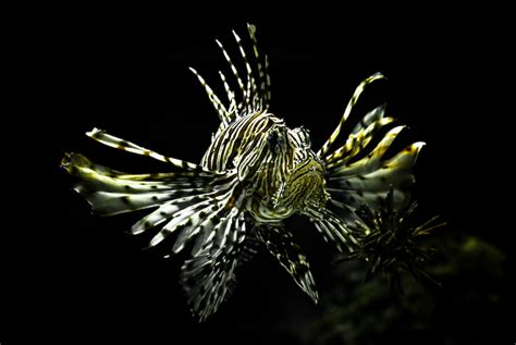 Freshwater Fish by Dragon Fish By Mklver On Deviantart