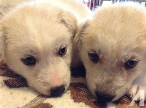 puppies for sale arlington tx husky puppies need home for sale in arlington classified americanlisted