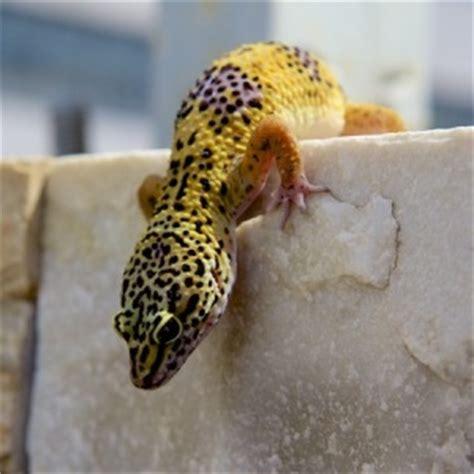 geco leopardino alimentazione il geco leopardino prezzo carattere e allevamenti pet