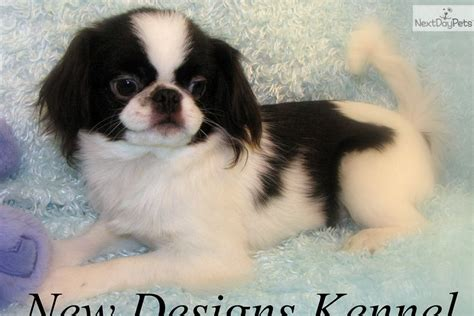 japanese chin puppies for sale japanese chin puppies for sale auto design tech