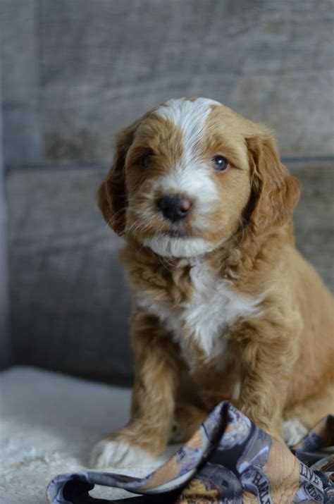 mini goldendoodles for sale in illinois 1000 ideas about goldendoodles for sale on