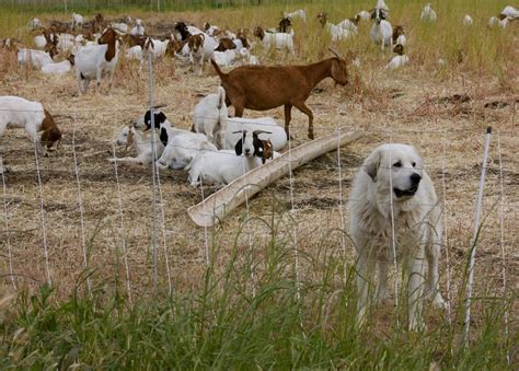 sheep guard dogs the always vigilant livestock guardian beginning farmers