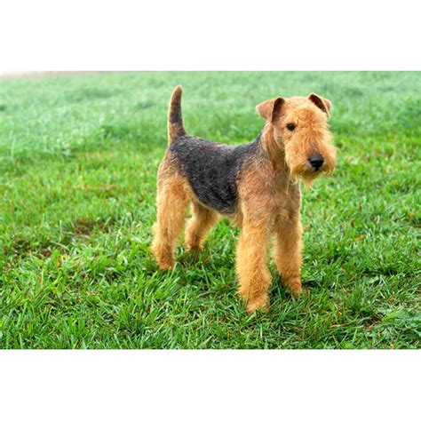 Lakeland Terrier - Dog Breeds - Dog.com