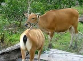 Jual Bibit Sapi Samarinda sumber jual beli bibit sapi bali jual daging impor bulog
