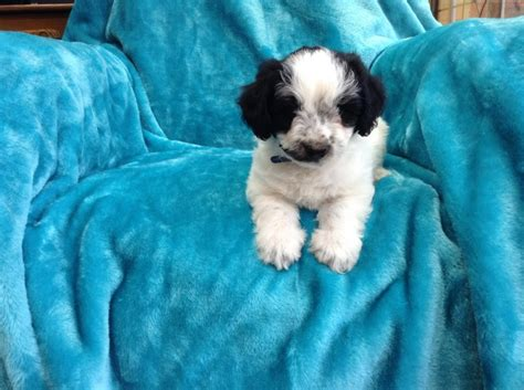 lhasa poo puppies for sale gorgeous lhasa poo puppies for sale coventry west midlands pets4homes