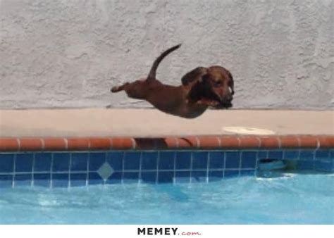 a dachshund puppy jumping into a swimming pool memey com