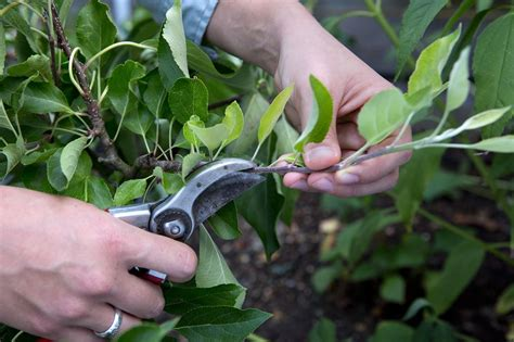 how to prune apple trees in summer gardenersworld com