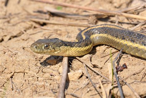 Garden Snake Species Garter Snake Listed As A Threatened Species The