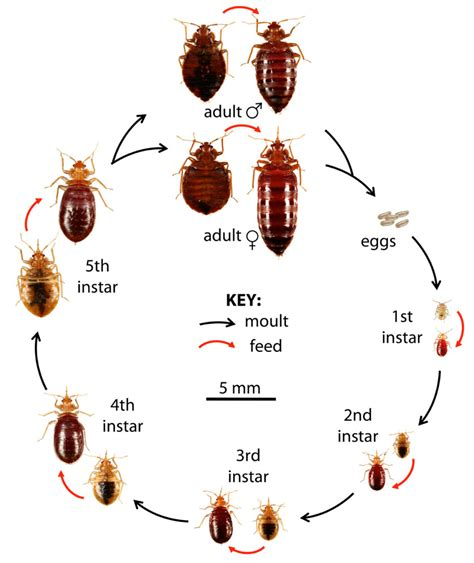 how often do bed bugs reproduce bed bug control montgomery al extermitech
