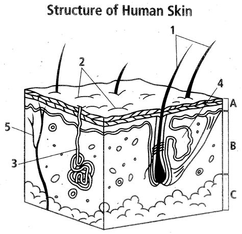 Integumentary System Worksheet by Easy Integumentary System Coloring Page Coloring Pages