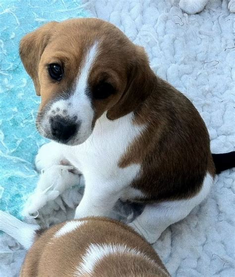 beagle mix puppies for sale beagle mix puppies puppies puppy