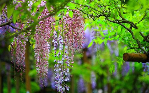 wisteria flower sun shines wisteria flowers wallpapers