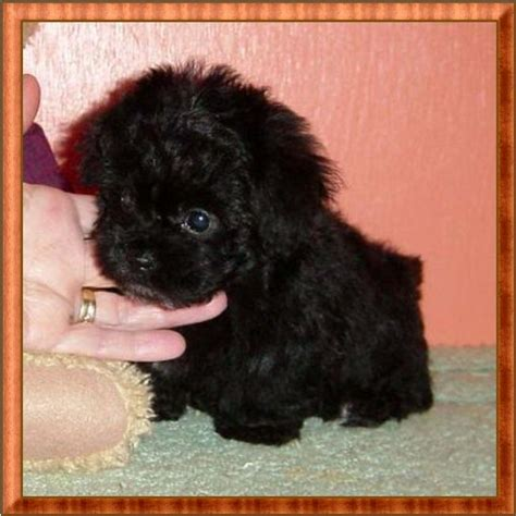 micro teacup poodle lifespan 1000 ideen zu poodle puppies auf