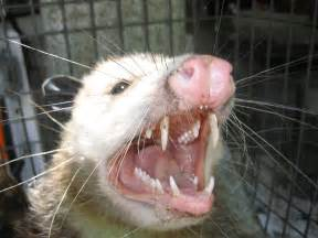 Get Rid Of Possums In Backyard Formerly The Fun Fact Of The Day They Don T Play Possum