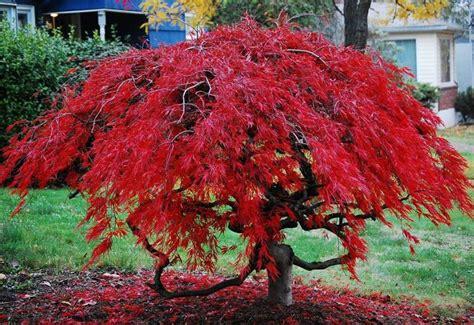 Piante Dalle Foglie Rosse by Acero Palmato Piante Da Giardino Caratteristiche Acero