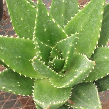 Leaves To Get Teeth Whitened by 245 Best Images About Aloes On Gardens Aloe