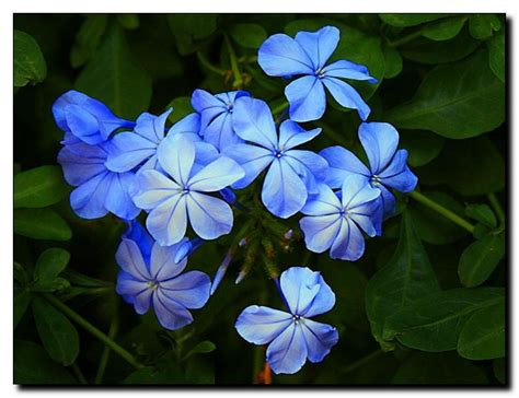 blue jasmine world of my own blue jasmine my namesake