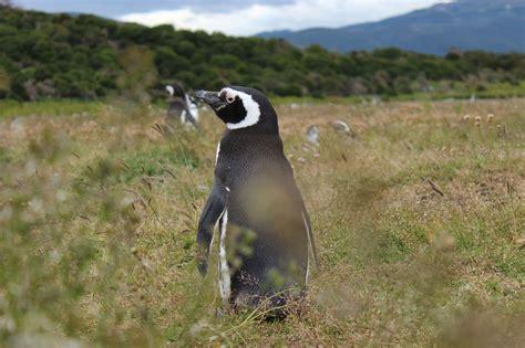 Traveller Pinguin photo essay argentina