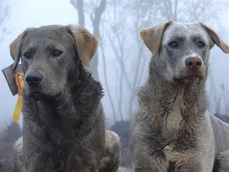 wolf hybrid labrador retriever wolfdogs history
