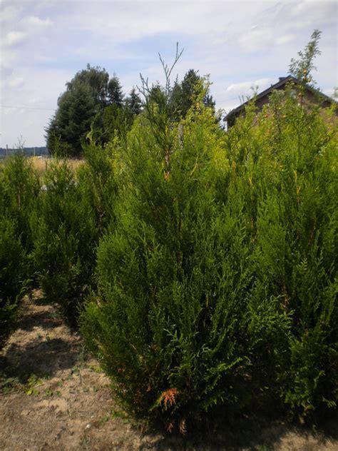 kirschlorbeer caucasica wachstum das heckenpflanzensortiment der baumschule kremer sch 246 ne