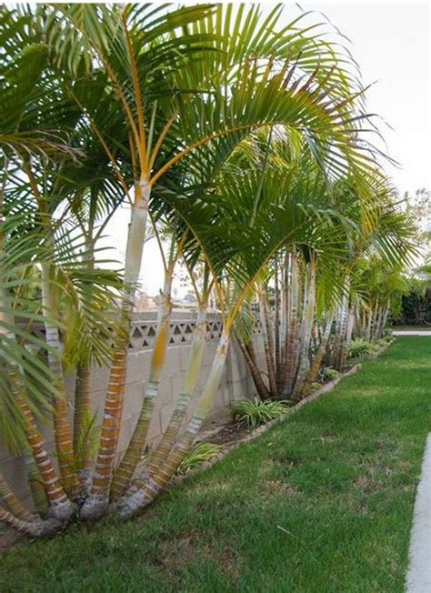 25 best ideas about palm small palm tree indoor palm images which are the typical