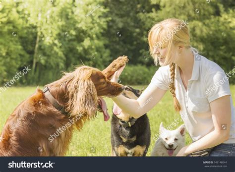 setter dog training dog trainer training irish setter to give high five stock
