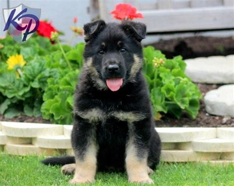 german shepherd puppies for sale in pennsylvania 1000 images about german shepherd puppies on ship german shepherd